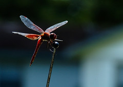 Red Dragon (dulcelife) Tags: red dragonflies macros 105mmf28 tc200 removedfromnikkorfortags