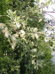 47 cotton willow (tomatochild) Tags: northpole fairbanks