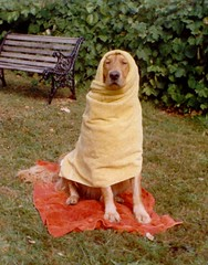 Original Scan of Sparky the Golden Retriever Wrapped in Bath Towels (Pixel Packing Mama) Tags: cute dogs goldenretriever wonderful funny niceshot humor excellent mostinteresting sillygoose mayberryrfdruralplacesrurallives congratulations sparky funnyhaha petcentral tenth pictureswithstories dogsset mylifeas makesmesmile femalephotographers flickrgirls familyfurrythingsorboth pixelpackingmama justgoldenretrievers goldenretrieverswelovethem dorothydelinaporter 2550faves laughoutloud justtoocute interestingness154 worldsfavorite interestingness161 i500 enjoylifehumorpics beautyisintheeyeofthebeholder wonderfulunlimited interestingness176060306 furryfun greatpixgallery20faves favoritedpixset mostinterestingaccordingtoflickralgorithmset favorites80 gpg20 ceruleanthecat~fanclub somethinginmylife mystoryoldones mystory1 invitedbyoneormoreiconstojoingroupsset reallyunlimitedpool storybehindthepicturenonfiction 7500pool cooldogspool greatpixgallery50favespool uploadedtoflickr2005set 50commentspool chosenbyflickrexploreset animalphotographypool over10000viewspool cuteandfurrymammalscuteyfurrymamiferospool ourfurryfourleggedfriendspool 50favespool goldenretrieverscompanionforlifepool retrieverspool photosfromthe1990spool dogperrochienhundcanehonddogspool pawsomephodographypool 10000viewsset pixelpackingmama~prayforkyronhorman newfavset50 over22000viewsjustonthis1pictureofsparky 65rosescysticfibrosis oversixmillionaggregateviews over430000photostreamviews infunnyhahamightbegoodimagesforgreetingcards
