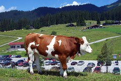 Winklmoosalm (happycat) Tags: animal germany bayern kuh cow oberbayern tier winklmoosalm bayerischealpen