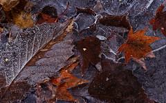sapporo 476 (kaifudo) Tags: sapporo hokkaido japan hokkaidogovernor'sofficialresidence winterscene freezing leaves 北海道 札幌 北海道知事公館 nikon sigmaapomacro150mmf28 sigma 150mm macro d810