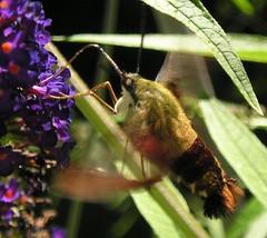 Hummingbird Moth (J.S. Hollands) Tags: flowers ontario flower topv111 bug garden insect topv555 topv333 hummingbird deleteme10 guelph moth hummingbirdmoth