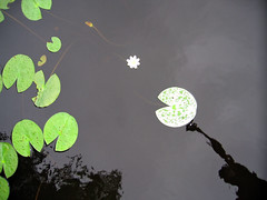 Lotus Plant and Pacman (Steffe) Tags: summer lake reflection water ilovenature europe waterlily sweden pacman stretching rudan handen