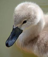 (doozzle) Tags: 2005 baby france bird birds topv111 closeup 510fav ilovenature swan interestingness1 young cygnet july snap swans utata loire 110fav cygne interestingness148 i500 utataminoes