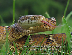 Flickering Beauty - in grass ! (Captain Suresh Sharma) Tags: india nature tongue closeup fauna danger warning photography bigeyes skin reptile snake wildlife safety scales wildanimal posture creature snakes herp flickering herpetology naturephotography macrolens catsnake nonpoisonoussnake wildlifephotography readytoattack snakeingrass natureconservation savenature snakephotography savewildlife tongueflickering snakecell harmlesssnake snakesofindia indiansnake attackposture captsureshsharma indiangama snakeinattackposture warningforselfdefence snakereadytoattack snakephotographybycaptsureshsharma natureconservationeffortsinindia naturephotographyinindia howtophotographsnakes snakeflickingtongue wildlifephotographyinindia bestindianphotographers bestphotographersinindia wildlifeprotectionact wheretolearnwildlifephotography wellknownphotographersofindia bestphototoursinindia bestphotosafariguides wildlifephotographylessons bestphototourescorts bestphototourguides bestphotosafariinindia environmenteducationinindia