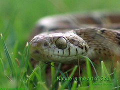 Beauty in Grass (Captain Suresh Sharma) Tags: wild india nature grass animal bigeyes scary dangerous eyes asia reptile snake threatening wildlife naturalhistory scales environment creature herp chandigarh quotation venomous herpetology nonvenomous nonpoisonous catsnake snakeingrass snakephotography snakesofindia mildlyvenomous telescopusfallax captshureshsharma bigeyesbeauty