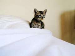 Baby Chihiro (fofurasfelinas) Tags: baby topf25 cat kitten remember tabby gato gata neko chihiro gatinho fofurasfelinas catphotography felinephotography gianeportal furryfelines fotografiadegatos fotografiafelina