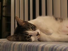 DSCF2185 (Annejelynn) Tags: cats cat chats furry kitten feline chat fuzzy kitty kittens gatos gato kitties felines katze kittycats