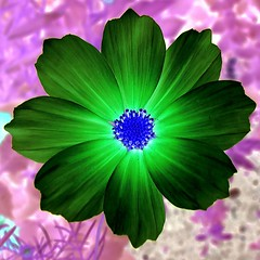 psychadelic flower (josef.stuefer) Tags: pink flower green closeup shine explore negative top20flower inverted cosmos josefstuefer
