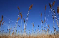 Sway (Lastexit) Tags: sky blue ilovenature ilikegrass