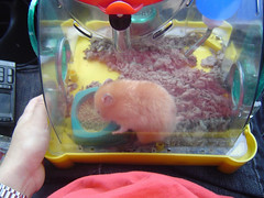 The Vet Visit -Before-  *Kumanoko* (Seattle Roll) Tags: pet pets animal golden hamster syrian