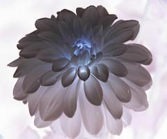 dahlia (Vina the Great) Tags: dahlia photoshop otherwise flower