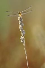 (α) Tags: dragonfly wind