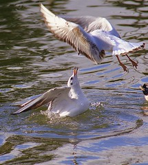 Aerial attack (John Wallace Photography) Tags: ireland bird fight gull hate conflict seabird squabble blackheadedgull jwallace johnew johnwallace