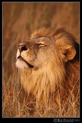 Savoir Vivre... hmmmmmm (bocavermelha-l.b.) Tags: kenya lion fotolog safari hmmmm leo tolosa bigcats tc20eii malepantheraleo masaimara savoirvivre bodevida itsonginvite arkofwildlife itsongwildafrica itsongnikonf5 wildlifephotography inafrica z5oo wildlifeafrica nikkor500mmf4dii shootingwithf5 cestsavoirvivre oroszln
