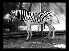 5 legged zebra (irodman) Tags: zebra bw buinzoo funny horny animal zoo stripes penis