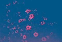 Night Daisy (Forty Photographs) Tags: lomo lomography lca flowers blue red 1stroll daisy night colorsplash pink flower stem stems bright street floral dark originallyyellow