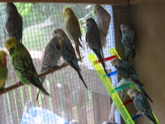 budgie  babies (nerdlet) Tags: pets budgie englishbudgerigar