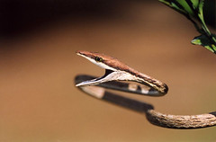 Brown Vine Snake (The Horned Jack Lizard) Tags: costa nature wet animal animals america forest outdoors rainforest reptile snake wildlife central rica jungle swamp tropical snakes tropics herp herps herpetology