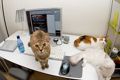 DSC_4511 (junku) Tags: cats white cute cat mouse nikon kitten d70 desk kitties  kin hime  kittycat  fuwari sigma15mmf28exfisheye cutecutecute