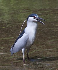 15fav bird birds topv111 geotagged hongkong birding blackcrownednightheron nycticoraxnycticorax geolat2239351 geolon11419822 kclama