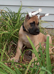 Jger - King of the Lilies (TangoPango) Tags: puppy newpuppy greatdane dog lilies jger