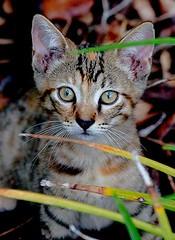 Yard Kitty 1 (hodad66) Tags: lindogato cats felines kitties