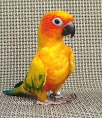 What cha doin' ? (Ollie girl) Tags: orange pet bird yellow parrot ollie sunconure i500