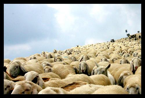 High sheeps