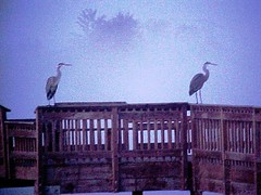 2 Great Blue Herons in the Fog at the Fishing Dock in Junction City, Oregon (Pixel Packing Mama) Tags: birds fog fantastic scenery artistic great dramatic greatshot unusual snapgame oregonwildlife junctioncityoregon femalephotographers greatblueherons blueset pixelpackingmama dorothydelinaporter uploadedtoflickr2005set pixelpackingmama~prayforkyronhorman oversixmillionaggregateviews over430000photostreamviews