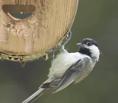 I Feel Like a Paparazzi (martytdx) Tags: macro birds topv111 backyard lifelist feeder chickadee fav carolinachickadee poecilecarolinensis