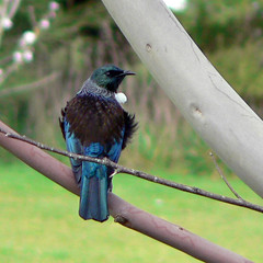 Tui in a tree (Brenda Anderson) Tags: blue newzealand bird feathers aves koko animalia tui wairarapa curiouskiwi passeriformes chordata poebeeeater newzealandcreeper prosthemaderanovaeseelandiae parsonbird meliphagidae prosthemadera utataspeaks1 brendaanderson taxonomy:order=passeriformes taxonomy:class=aves taxonomy:kingdom=animalia taxonomy:phylum=chordata taxonomy:family=meliphagidae taxonomy:binomial=prosthemaderanovaeseelandiae taxonomy:common=tui taxonomy:genus=prosthemadera curiouskiwi:posted=2005 taxonomy:species=novaeseelandiae