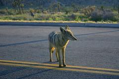 Coyote at Sunset (Nathan Moody) Tags: outdoors organic nature joshuatree cactus animal coyote california sunset wildlife desert