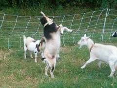 goat goats dummerston vermont dummerstonvt newleafcsa farm uploadedbyeurleif