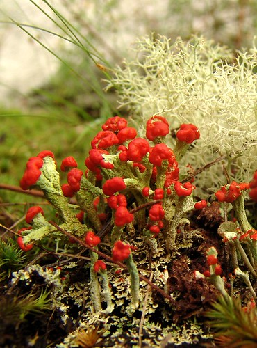 British Soldiers - Cladonia lichen by zen.
