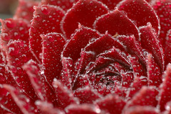 Infinite droplets (Eric Hunt.) Tags: sanfrancisco red mist macro water d70 drop sparkle droplet fv10 crassulaceae 1600x1200 themenaturalpatterns jovibarba