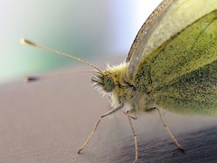 IMG_9261 (young_einstein) Tags: butterfly insect macro closeup dof ilovenature