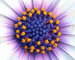 IMG_9126 (young_einstein) Tags: orange white flower color colour macro nature topf25 yellow topv111 closeup wow catchycolors ilovenature petals topf50 flora topv555 topv333 topf75 colorful purple bright vibrant topv1111 topv999 daisy mostinteresting topv777 colourful pollen topf100 1000views 1500v60f