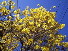 Yellow Tree (marlenells) Tags: blue sky 15fav flower tree yellow topc25 topv111 wow seasons ipê cby