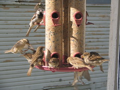 Fighting Finches News, Morning Edition (Emerald2098) Tags: finches fighting fightingfinches small birds smallbirds