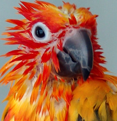 Wild Child! (Ollie girl) Tags: bird wet bath 21 parrot ollie sunconure 81805 interestingness21 i500