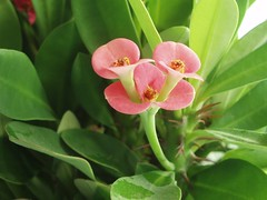 espina de cristo (-Merce-) Tags: plants naturaleza flower macro nature closeup plantas flor euphorbia euphorbiamilii euphorbiasplendens mmbmrs