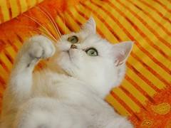 Lua (_Xti_) Tags: gato gatos cat cats exotic persian exoticcat exoticcats lua ling katzen gatto gatti ktzchen mo kitty furry cutecat feline felines gata gatas chat silver golden sorthair pet pets eyes kaz ket mau exoticsorthair fantastic