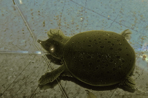 Young spiny softshell turtle by alumroot