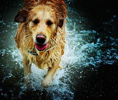 The Angel from The Sea (bitterlysweet) Tags: sea dog beach wet topf25 water goldenretriever wow fur topf50 topc50 100v10f retriever doggy waterdrops dognose kakadoohotspot impressedbeauty