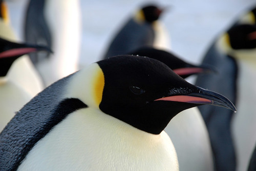 Penguin close-up by BrynJ