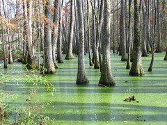 Swamp (T Hall) Tags: trees shadow sun reflection tree green water reflections mississippi ilovenature shadows bright sunny swamp cypress algae knees knee