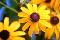 yellow (jaki good miller) Tags: flowers flower nature beauty yellow tag3 taggedout ilovenature petals interestingness tag2 tag1 explore daisy exploreinterestingness jakigood rudbeckia blackeyedsusan perennials top500 flowerset explorepage explored explorepages