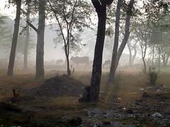 Delhi, India - Cows in the Mist