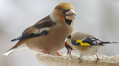 Hawfinch 3 by Max xx.